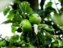 gröna äpplen på trädet foto