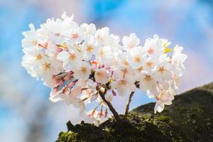 japansk körsbärsblomning på våren foto