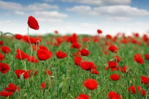 röd vallmo blommor äng vårsäsong