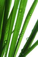 färska daggdroppar på blad över vit bakgrund