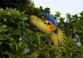 vildblå och gul ara i Panama, Centralamerika
