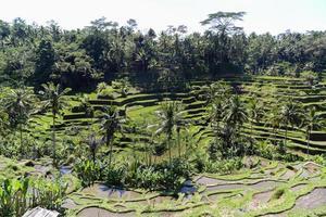 tegalalang risterrasser i Bali, Indonesien. foto