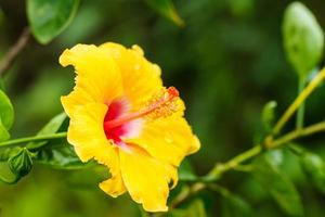 gul hibiskusblomma foto