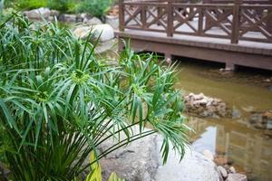 cyperus alternifolius i trädgården foto