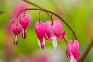 makrofoto av hjärtformade blommor foto