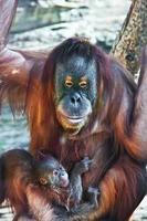 orangutang foto