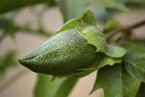 bomull, gossypium arboreum, indien foto
