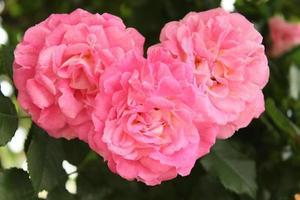 rosa roshjärta