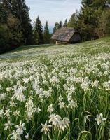 landskap med påskliljor foto