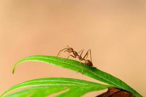 röd myra på ett blad foto