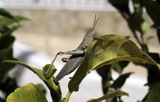 egyptisk gräshoppa på ett blad foto
