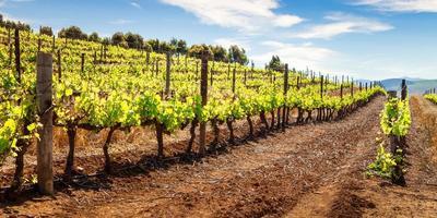 panorama av vingården på våren foto