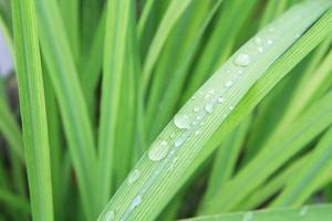 vattendroppar på citrongräsblad foto