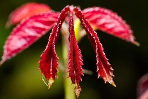 vattendroppar på rött blad. foto