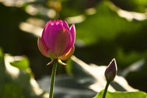lotus och näckros foto