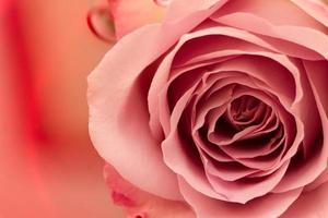rosa ros på färgat vatten.