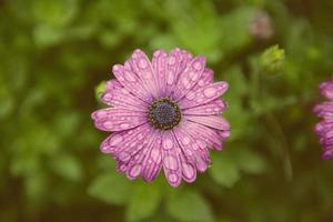 lila tusensköna och vattendroppar