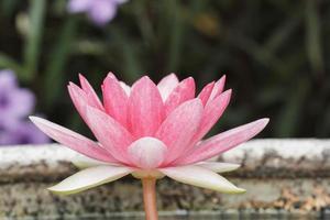 rosa näckros i dammet