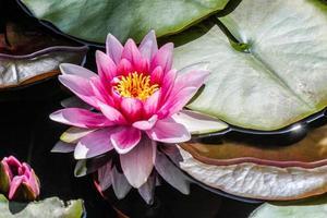 rosa vattenlilja foto