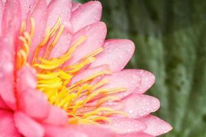 rosa näckros