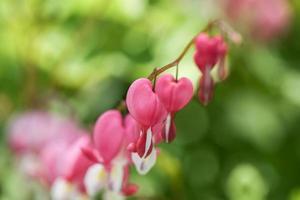blödande hjärtan i min trädgård foto