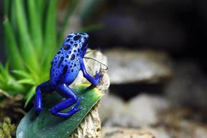 blå gift dart groda foto