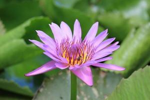violett lotusblomma