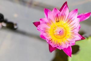 vacker lotusblomma i dammet