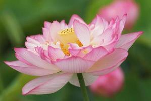 dubbelblommig lotus med welt foto