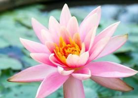 närbild av lotus