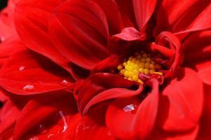 röd dahlia blommar med vattendroppar foto