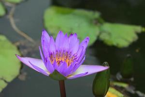 loto blomma