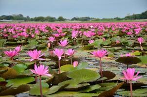lotusblommor i sjön