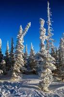 gran täckt med frost och snö foto