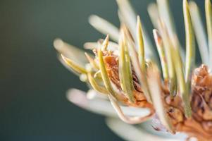 makro bild av tall gren