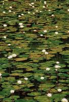 nymphaea odorata, vit lotus
