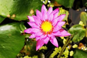 vacker lotus (enda lotusblomma isolerad på vit bakgrund)