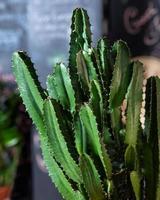stor kaktus på nära håll foto