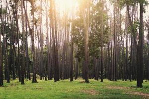 vacker skog med höga träd, solljus skiner igenom. foto