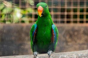 eklektus papegoja uppflugen på en trädben
