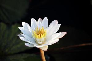 vit lotusblomma