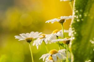 vit tusensköna eller leucanthemum vulgare och vattendroppar
