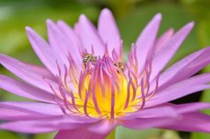 närbild av lila lotus och bi