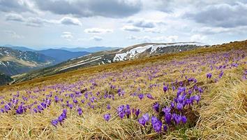vackert vårlandskap i karpater med blommande krokusar foto