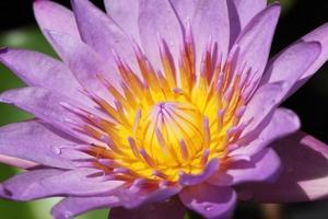 gul lila lotusblomma.
