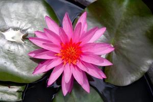 röd lotus
