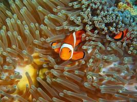 fisk-clown foto