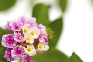 vacker blomma (lantana camara) isolerad på vit bakgrund. foto