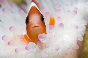clownfisk i havsanemon foto