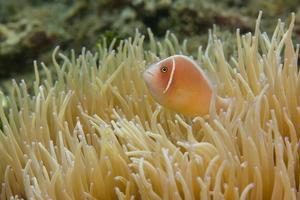 rosa anemonfisk foto
